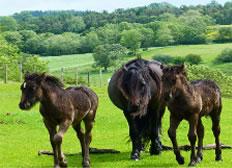 Fell Ponies near Carrock by David Absalom